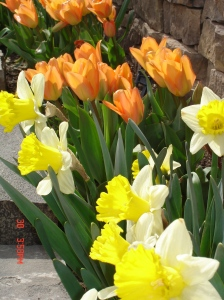 Orange Emperor Tulips and Narcissus 'Goblet'